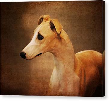 Italian Greyhound Canvas Print by Jai Johnson