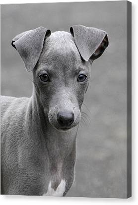 Italian Greyhound Puppy 2 Canvas Print by Angie Vogel