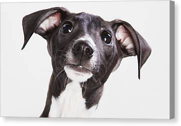 Italian Greyhound Puppy Spruce Grove Canvas Print by Leah Bignell