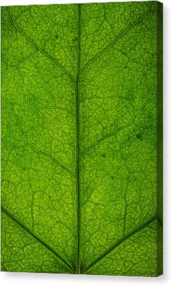 Ivy Leaf Canvas Print by Steve Gadomski