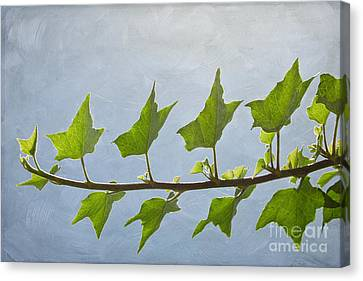 Ivy To The Left Canvas Print