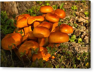 Jack Olantern Mushrooms 5 Canvas Print