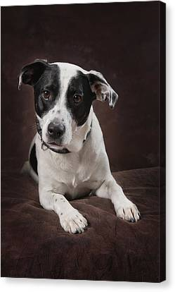 Jack Russell Terrier On A Brown Studio Canvas Print by Corey Hochachka