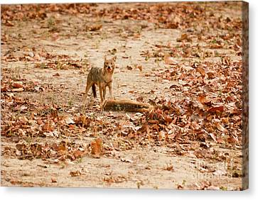 Canvas Print featuring the photograph Jackal Standing Over Deer Kill by Fotosas Photography