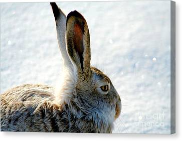 Jackrabbit Canvas Print