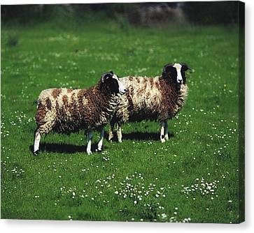 Jacob Sheep Canvas Print by The Irish Image Collection