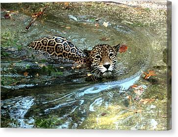Canvas Print featuring the photograph Jaguar In For A Swim by Kathy  White