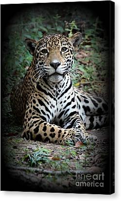 Canvas Print featuring the photograph Jaguar Portrait by Kathy  White