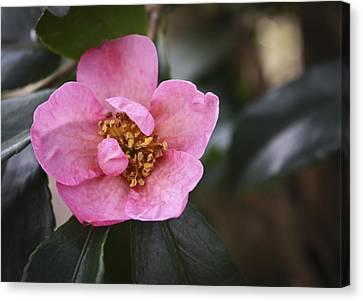 Camellia Canvas Print - January Camellia 1 by Teresa Mucha