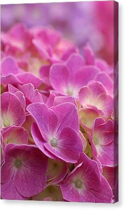 Japan, Kanagawa Prefecture, Sagamihara City, Close-up Of Pink Flowers Canvas Print by Imagewerks
