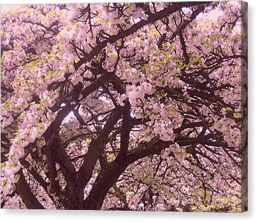 Japanese Blossom In Holland Canvas Print by Nop Briex
