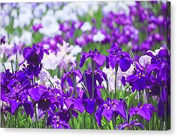 Japanese Iris Flowers In Field Canvas Print by Imagewerks