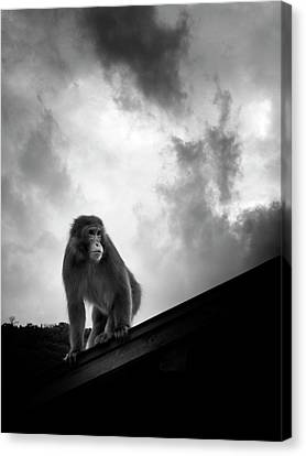 Japanese Macaque On Roof Canvas Print by By Daniel Franco