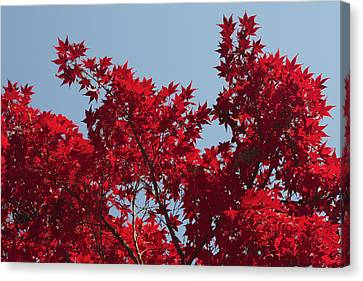Japanese Red Maple In Flaming Autumn Canvas Print by George Grall