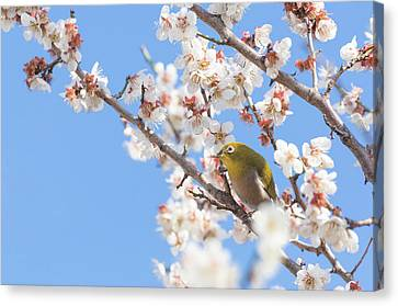 Japanese White-eye At Which It Looks Canvas Print by Yuji Takahashi