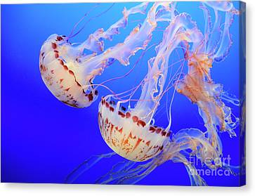 Jellyfish 3 Canvas Print by Bob Christopher