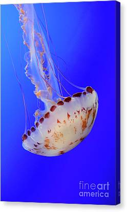 Jellyfish 4 Canvas Print by Bob Christopher