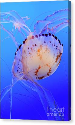 Jellyfish 5 Canvas Print by Bob Christopher