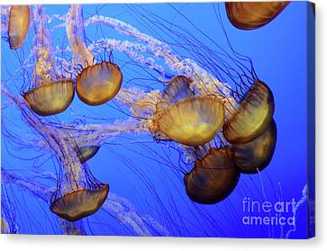 Jellyfish 6 Canvas Print by Bob Christopher