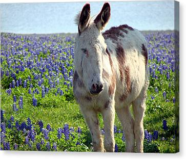 Canvas Print featuring the photograph Jesus Donkey In Bluebonnets by Linda Cox