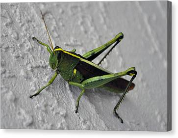 Jimeny Cricket Canvas Print by Kelli Reed