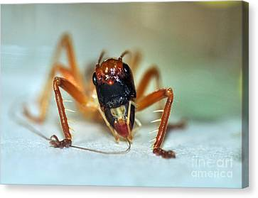Jiminy Cricket Canvas Print by Kaye Menner