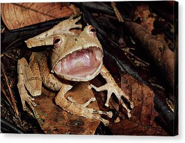 Johnsons Horned Treefrog Hemiphractus Canvas Print by Michael & Patricia Fogden