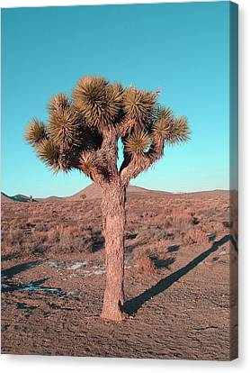 Rural Landscapes Canvas Print - Joshua Tree by Naxart Studio