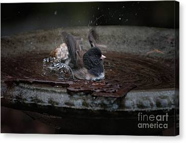 Junco In The Birdbath Canvas Print by Carol Ailles