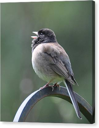 Canvas Print featuring the photograph Junco Sings by Ronda Broatch