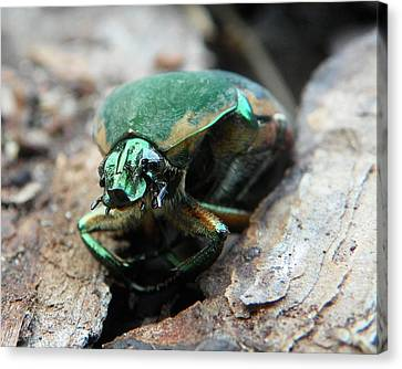 Canvas Print featuring the photograph June Bug Shine by Chad and Stacey Hall