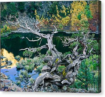 Juniper Canvas Print by Tim Fleming