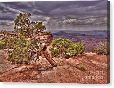 Junipers Storm Canvas Print by John Kelly