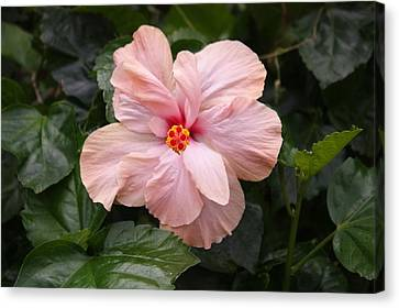 Canvas Print featuring the photograph Just Blossoming Hibiscus by Craig Wood