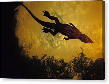 Just Days-old, A Nile Crocodile Makes Canvas Print by Michael Nichols