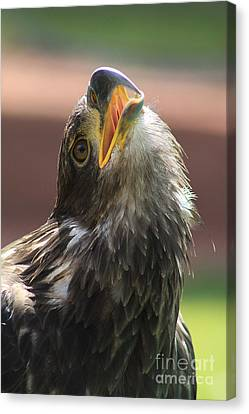 Canvas Print featuring the photograph Juvenile Bald Eagle by Alyce Taylor