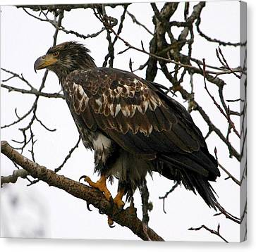 Juvenile Bald Eagle Canvas Print by Carrie OBrien Sibley