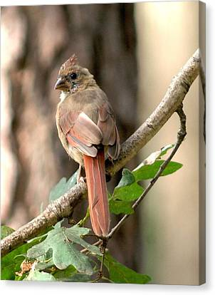 Juvenile Female Cardinal Camouflaged Canvas Print