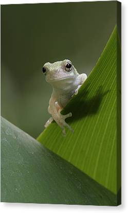 Canvas Print featuring the photograph Juvenile Grey Treefrog by Daniel Reed