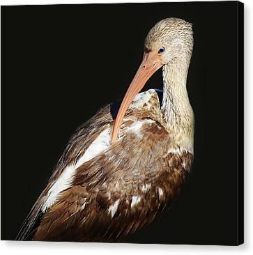 Juvenile Ibis Canvas Print by Paulette Thomas