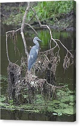 Juvenile Little Blue Heron Canvas Print by Jeanne Kay Juhos