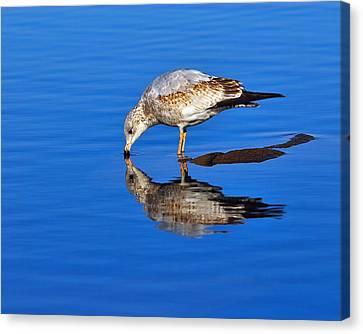 Juvenile Ring-billed Gull  Canvas Print