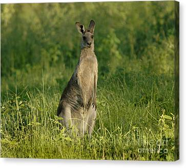 Kangaroo Female Canvas Print by Bob Christopher