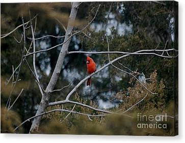 Canvas Print featuring the photograph Kansas Cardinal by Mark McReynolds