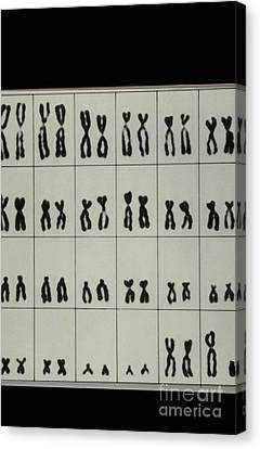 Karyotype Of Male Chromosomes Canvas Print by Omikron