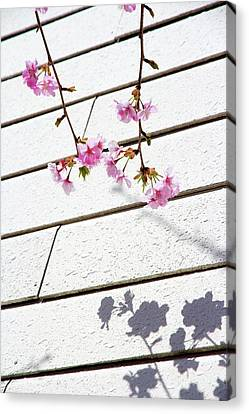 Kawadu Sakura Canvas Print by Privacy Policy