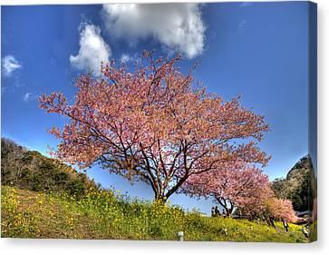 Kawazu Sakura-ii Canvas Print
