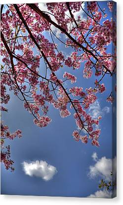 Kawazu Sakura-iii Canvas Print