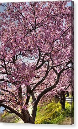 Kawazu Sakura  Canvas Print