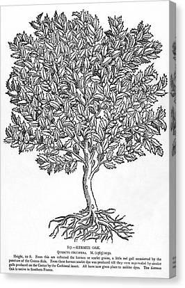 Kermes Oak Tree Canvas Print by Granger